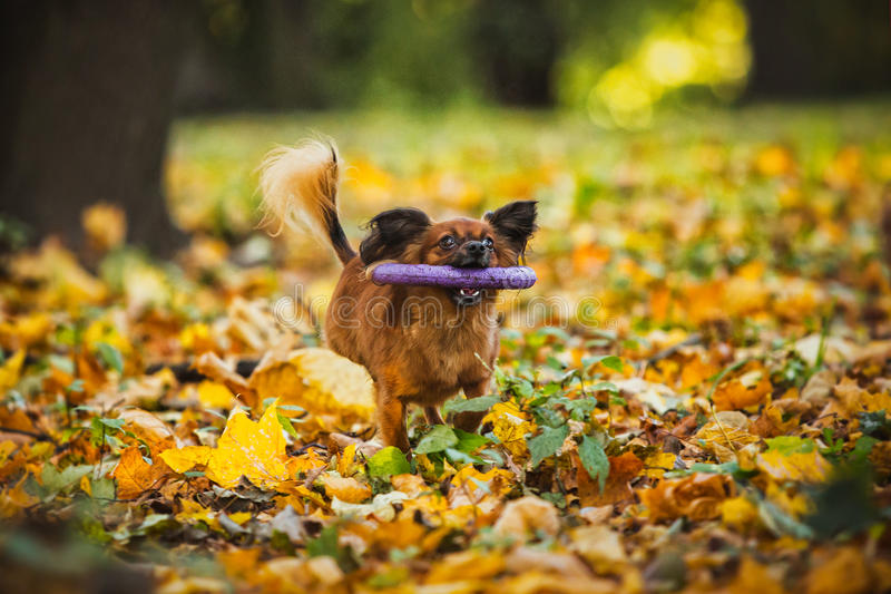 Toy terrier dog in the autumn on the nature stock photos