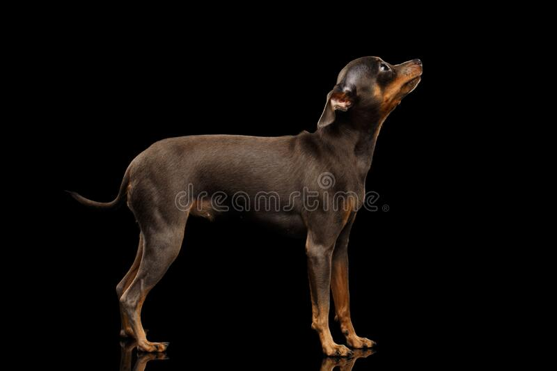 Toy Terrier Dog  on black background stock photography