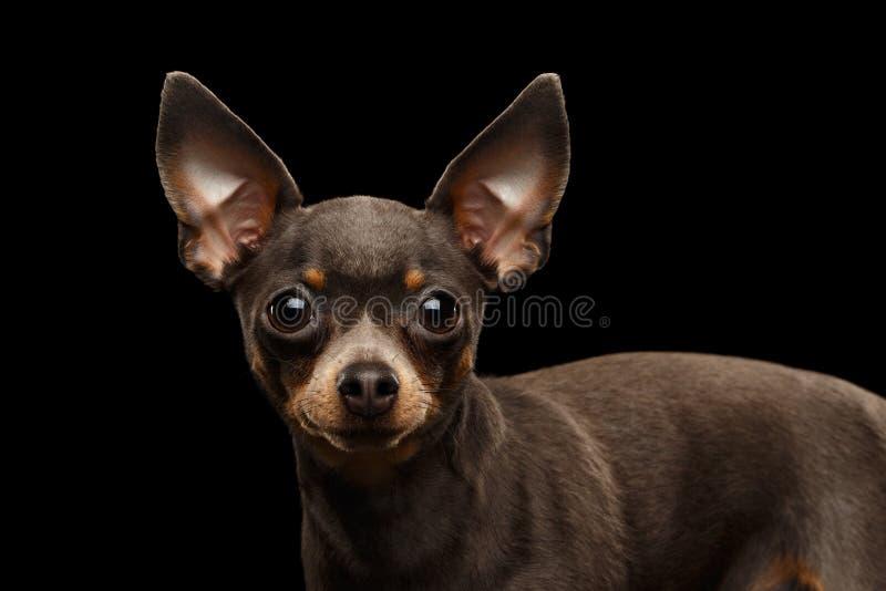 Toy Terrier Dog isolated on black background stock image