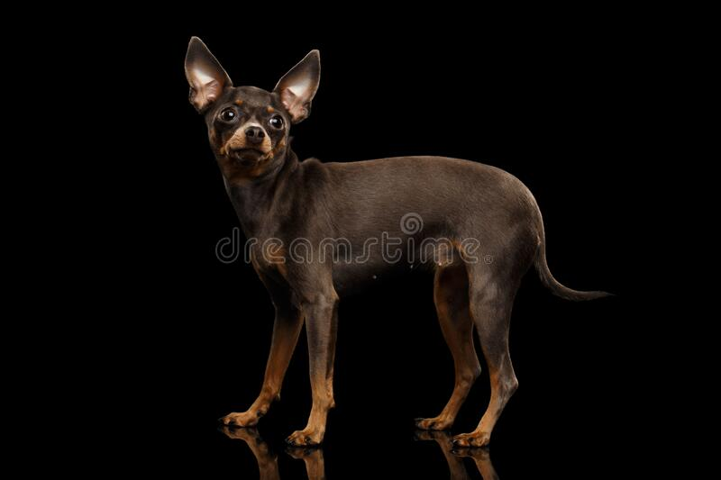Toy Terrier Dog isolated on black background stock photos
