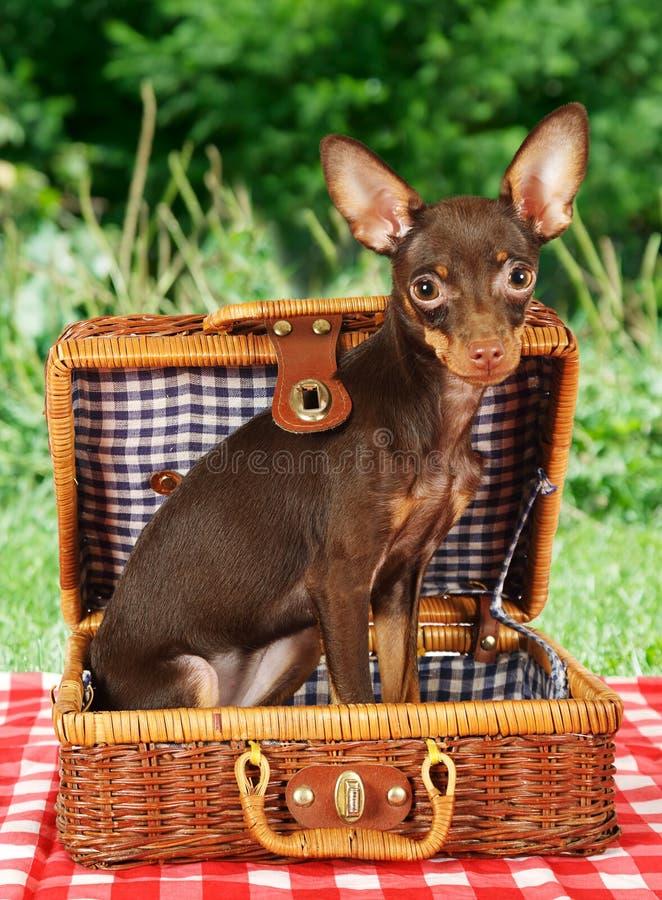 Toy Terrier hund som sitter i en resväska för picknick royaltyfria foton