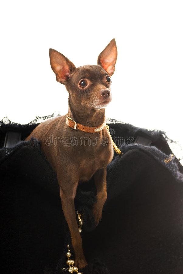 Toy terrier in a luxury bag. Isolated on white background royalty free stock images