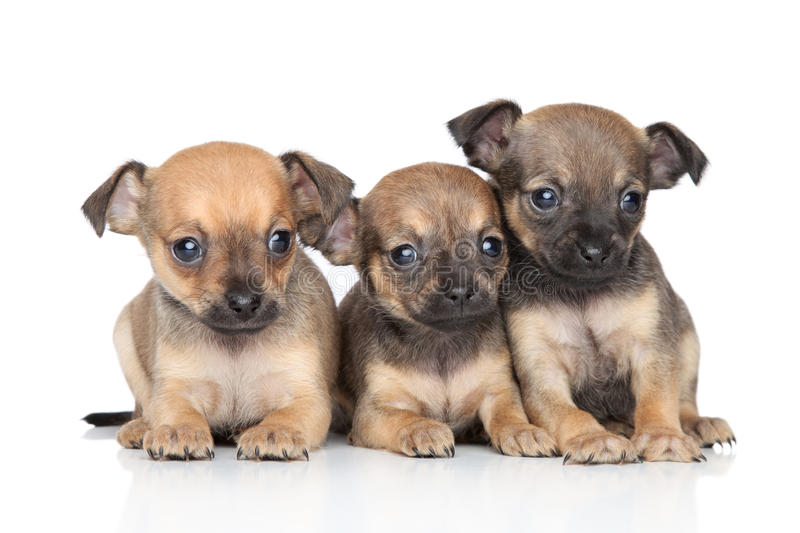 Toy Terrier puppies lying together royalty free stock photography