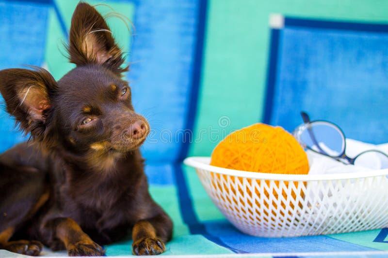 Toy Terrier regardant l'appareil-photo photo libre de droits