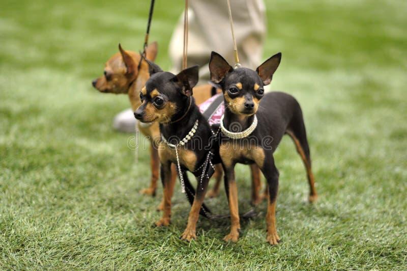 Toy Terriers hundkapplöpning arkivfoton