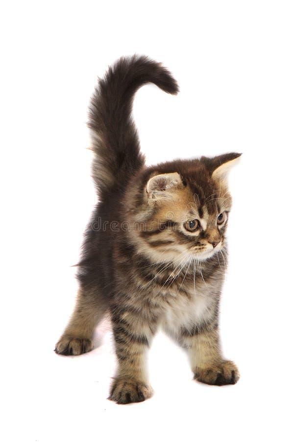 Free Toyger Kitten Royalty Free Stock Photo - 18282775