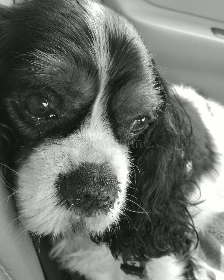 Träumender pies zdjęcie stock