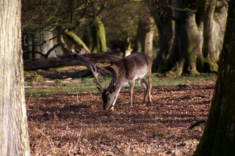 Trä för dovhjortfullvuxen hankronhjorthöst fotografering för bildbyråer