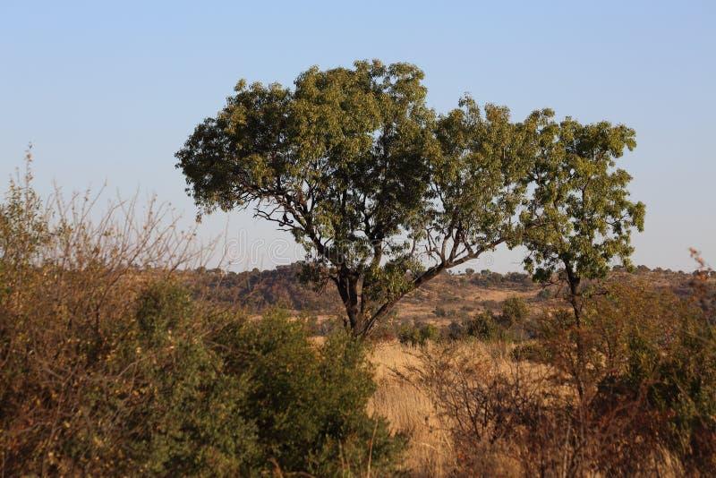 trä för song för grouseförälskelsenatur wild arkivbild