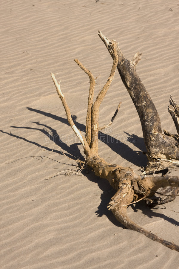 trä för stranddrivasolsken royaltyfria bilder