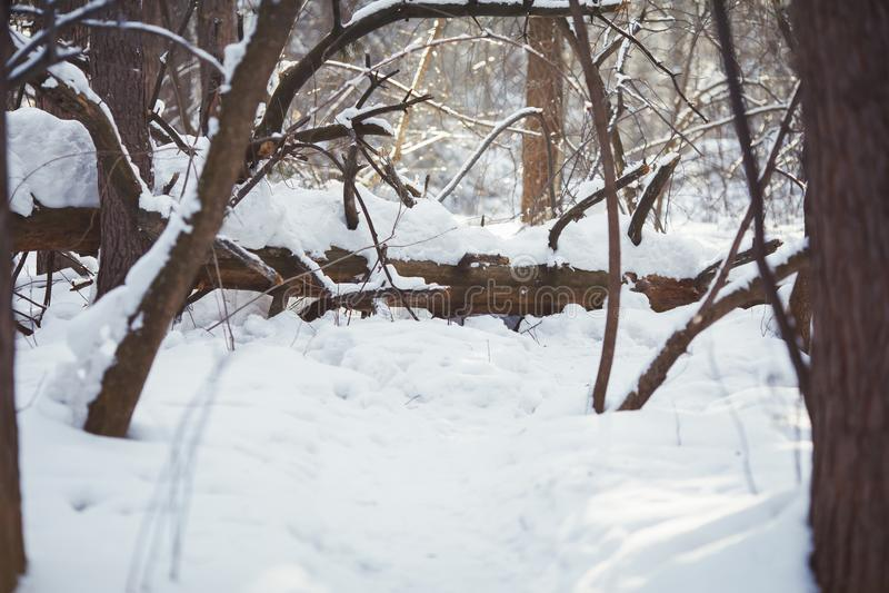 trä för vinter för plats för skoglake fridsamt Frostigt landskap, snöig träd royaltyfria foton