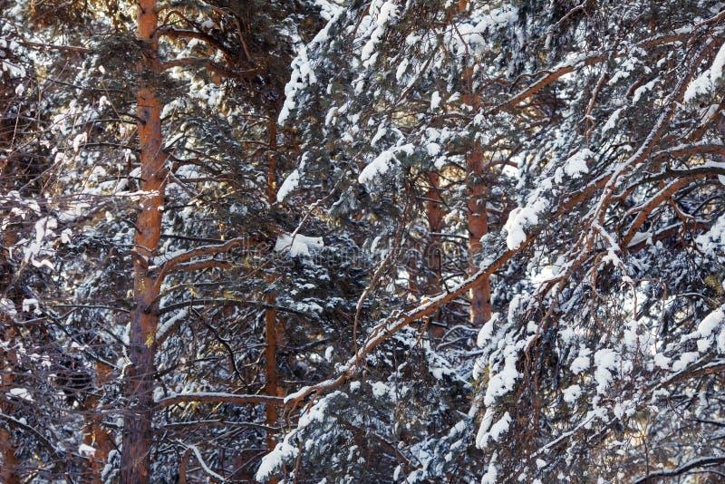 trä för vinter för plats för skoglake fridsamt Frostigt landskap, snöig träd arkivfoto