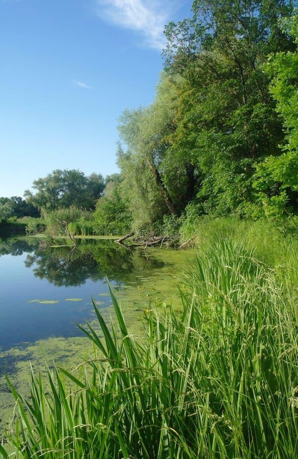 Trä på kusten av floden, morgon royaltyfri foto