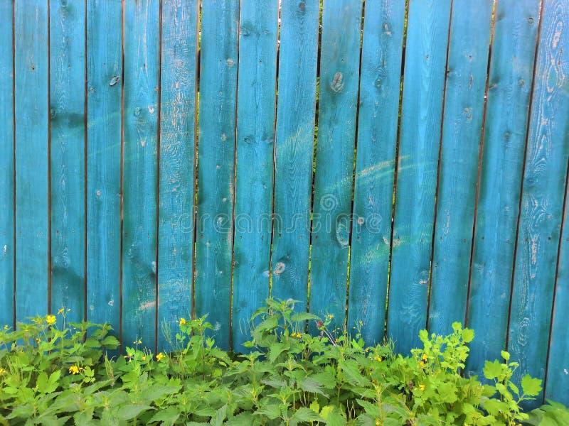 Träbakgrund för blå akvamarin med murgrönaträdet - målad gammal träfasad med att klättra den gröna murgrönaväxten arkivfoton