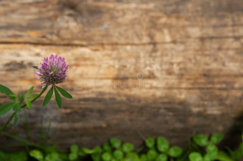 Träbakgrund med växt av släktet Trifolium arkivbild