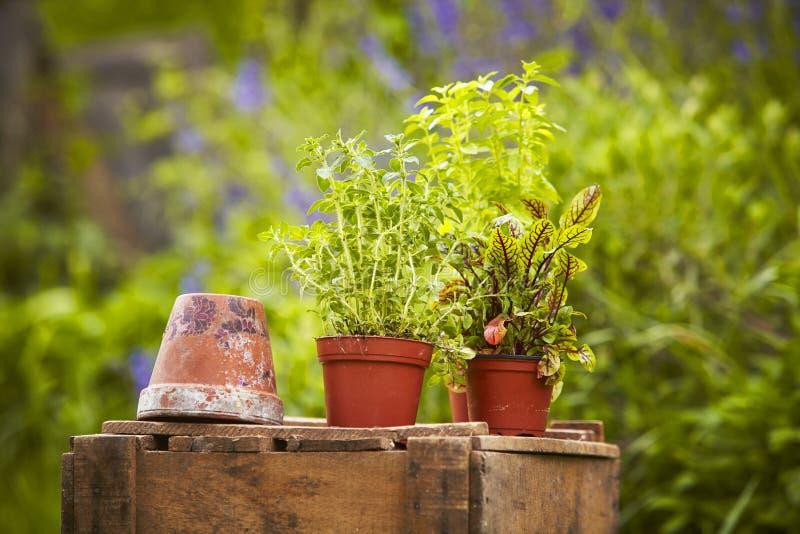 TräBoxgarden lagd in växt arkivfoto