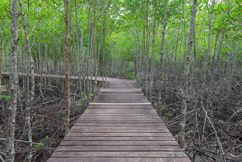 Träbro i mangroveskog royaltyfri foto
