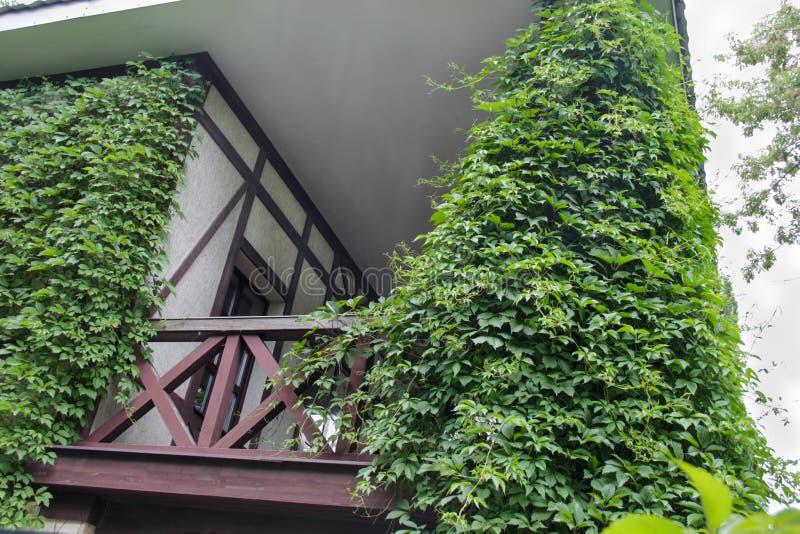 Träbyggnadsbalkong som täckas med den gröna murgrönan arkivfoton