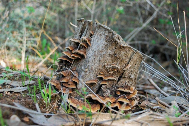 Trächampinjoner som växer på gammal trädstubbe royaltyfri bild