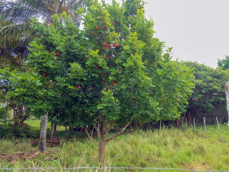 Träd av ackeen royaltyfria bilder