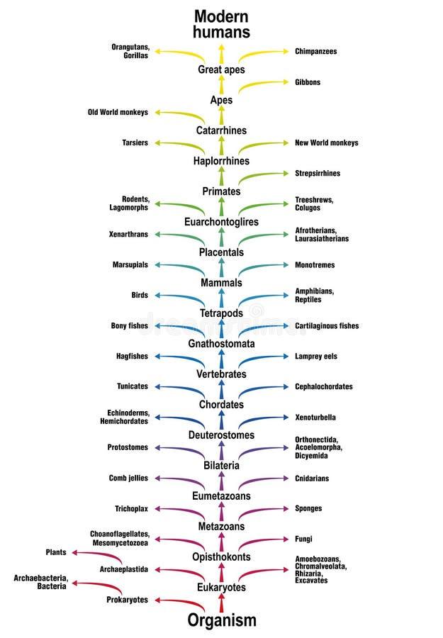 Träd av klassifikationen för art för biologi för mänsklig evolution för liv vektor illustrationer