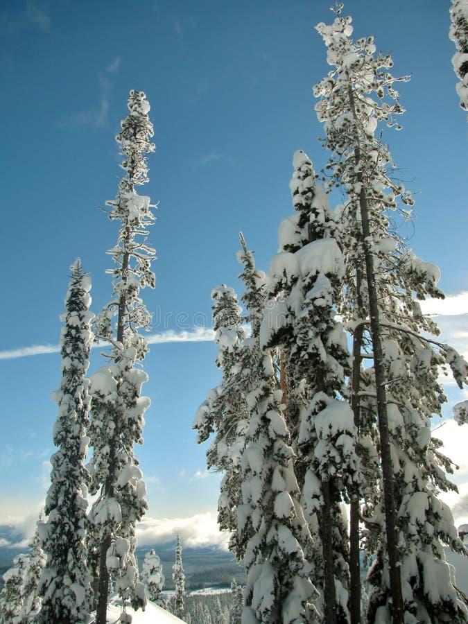 Träd bakade ihop med snö mot en klar blå himmel på lutningarna av det stora vita berget fotografering för bildbyråer