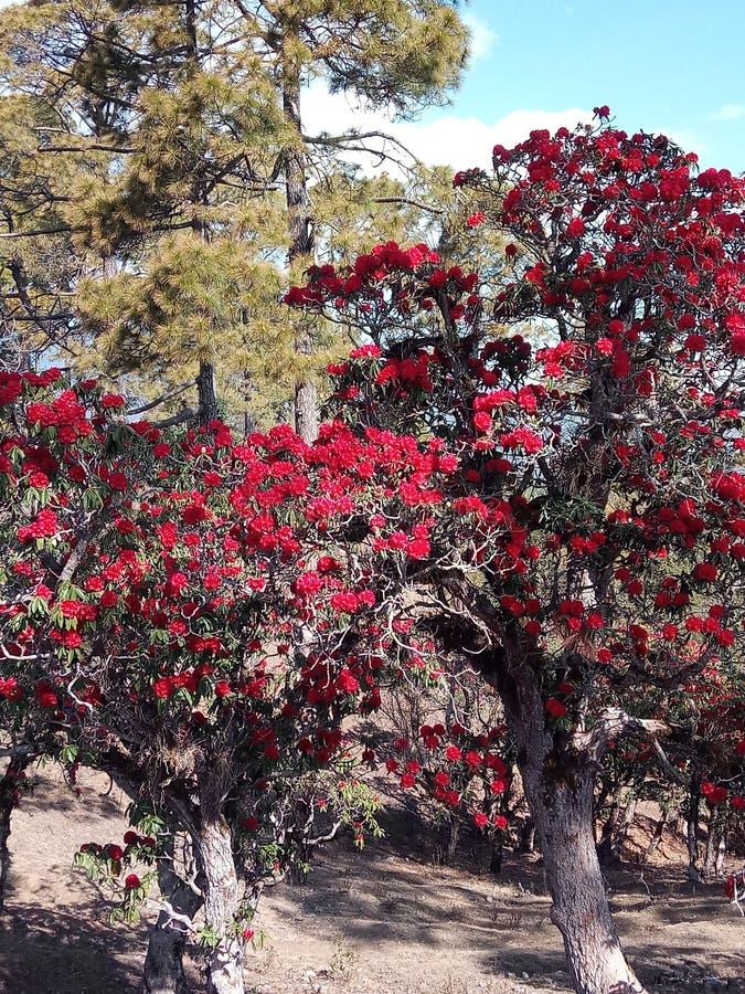 Träd Burans för Indien statUttarakhand tillstånd fotografering för bildbyråer