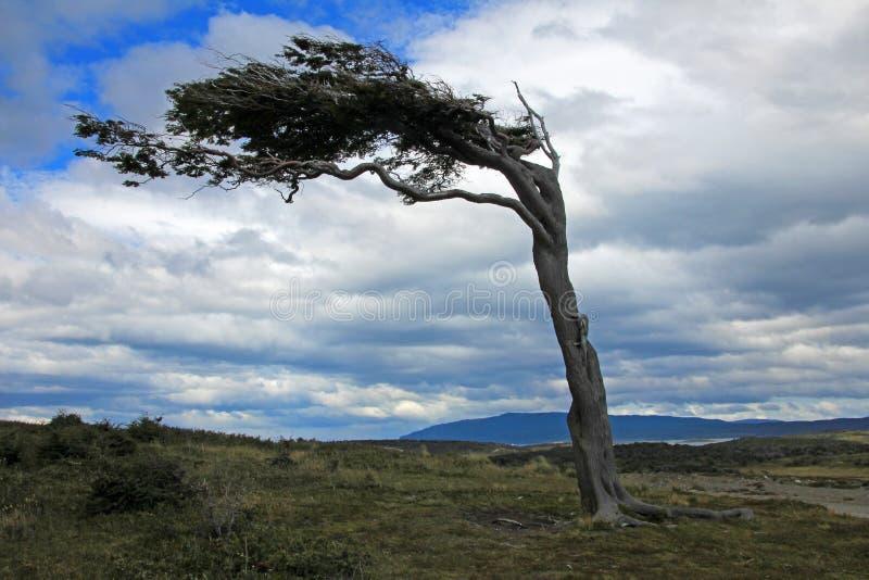 Träd deformerat av vind, Patagonia, Argentina royaltyfri foto