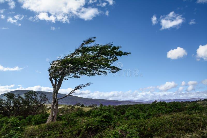 Träd deformerat av vinden i Tierra del Fuego royaltyfria bilder