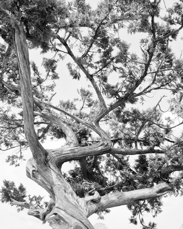 Träd. Den abstrakta konturn av sörjer trädfilialer arkivfoto