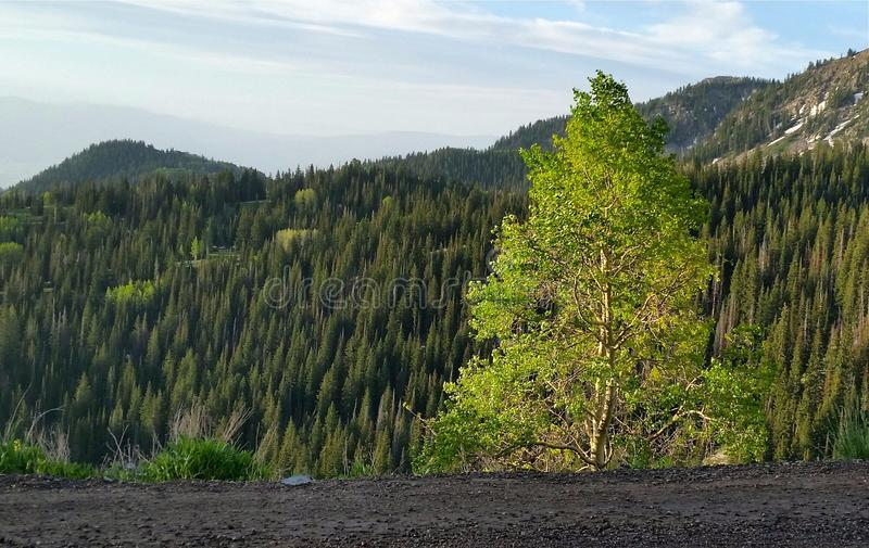 Träd Downstage, i strålkastaren fotografering för bildbyråer