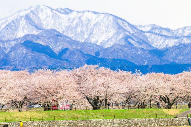 Träd eller sakura för körsbärsröd blomning med det japanska fjällängberget royaltyfria bilder
