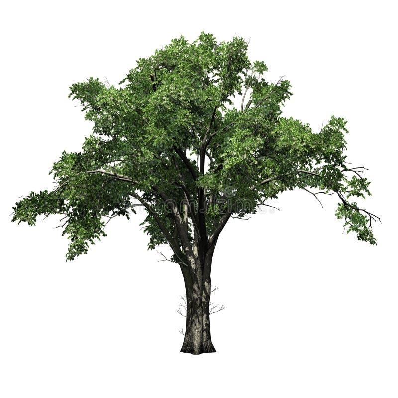 Träd för amerikansk alm vektor illustrationer