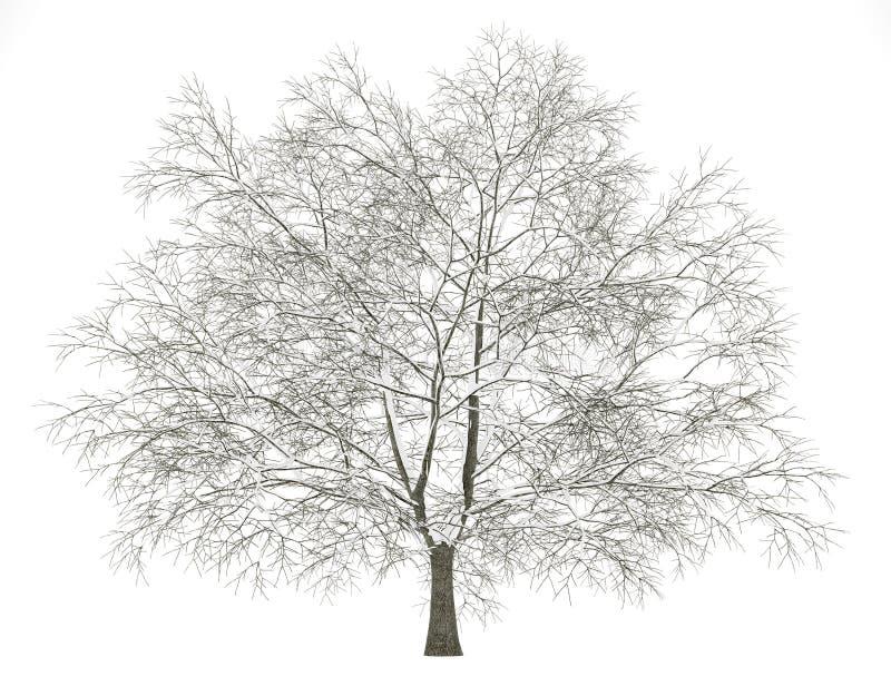 Träd för amerikansk bokträd för vinter som isoleras på vit stock illustrationer