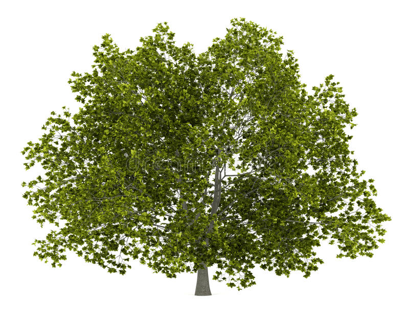 Träd för amerikansk bokträd som isoleras på vit royaltyfri illustrationer