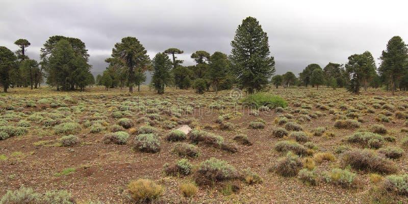Träd för Araucaria (Araucariaaraucana) i den Lanin nationalparken royaltyfri foto