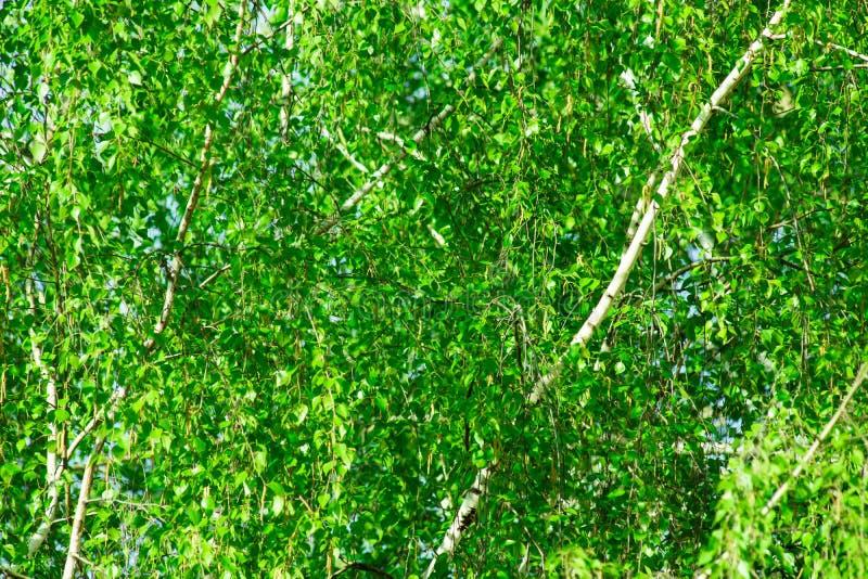 Träd för björk för grön lövverkbakgrund fattar unga sidor i vårtid, blå himmel, solljus royaltyfri fotografi