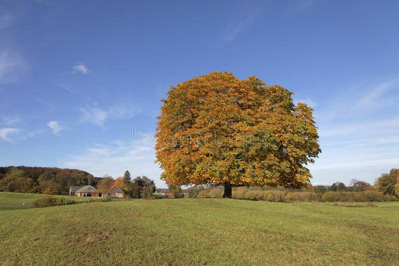 Träd för Conker för kastanjebrunt träd för häst (Aesculushippocastanum) i höst, norr Rhen-Westphalia, Tyskland royaltyfri foto