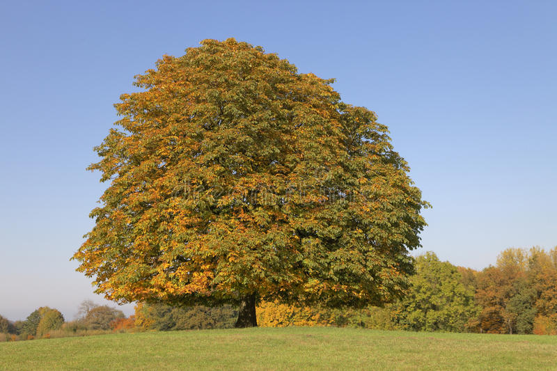 Träd för Conker för kastanjebrunt träd för häst (Aesculushippocastanum) i hösten, Lengerich, norr Rhen-Westphalia, Tyskland royaltyfri fotografi