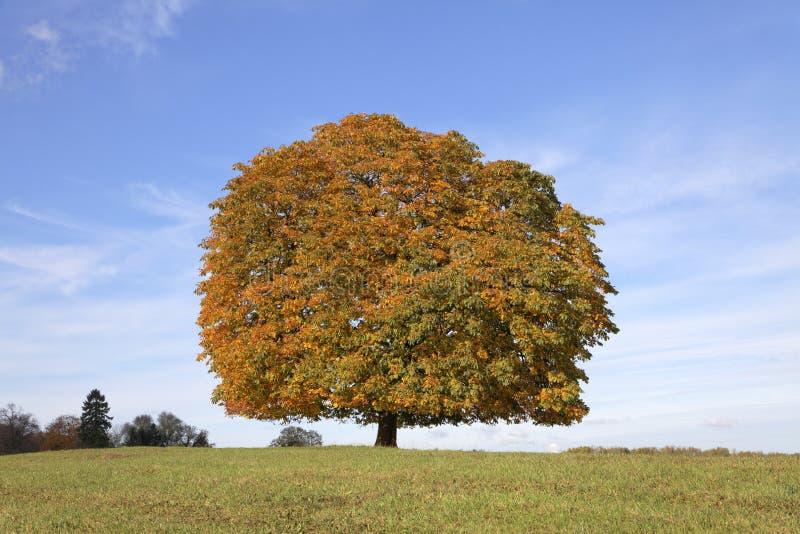 Träd för Conker för kastanjebrunt träd för häst (Aesculushippocastanum) i hösten, Lengerich, norr Rhen-Westphalia, Tyskland arkivbild