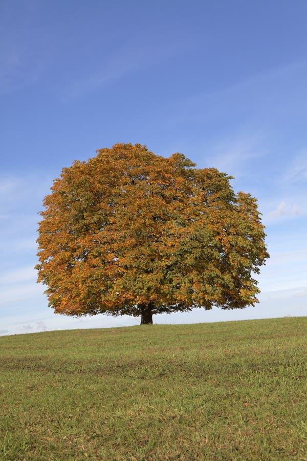 Träd för Conker för kastanjebrunt träd för häst (Aesculushippocastanum) i hösten, Lengerich, norr Rhen-Westphalia, Tyskland arkivfoton