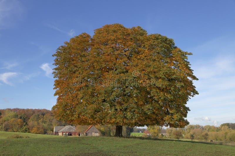 Träd för Conker för kastanjebrunt träd för häst (Aesculushippocastanum) i hösten, Lengerich, norr Rhen-Westphalia, Tyskland royaltyfri foto