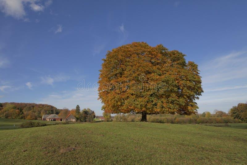 Träd för Conker för kastanjebrunt träd för häst (Aesculushippocastanum) i hösten, Lengerich, norr Rhen-Westphalia, Tyskland arkivbilder