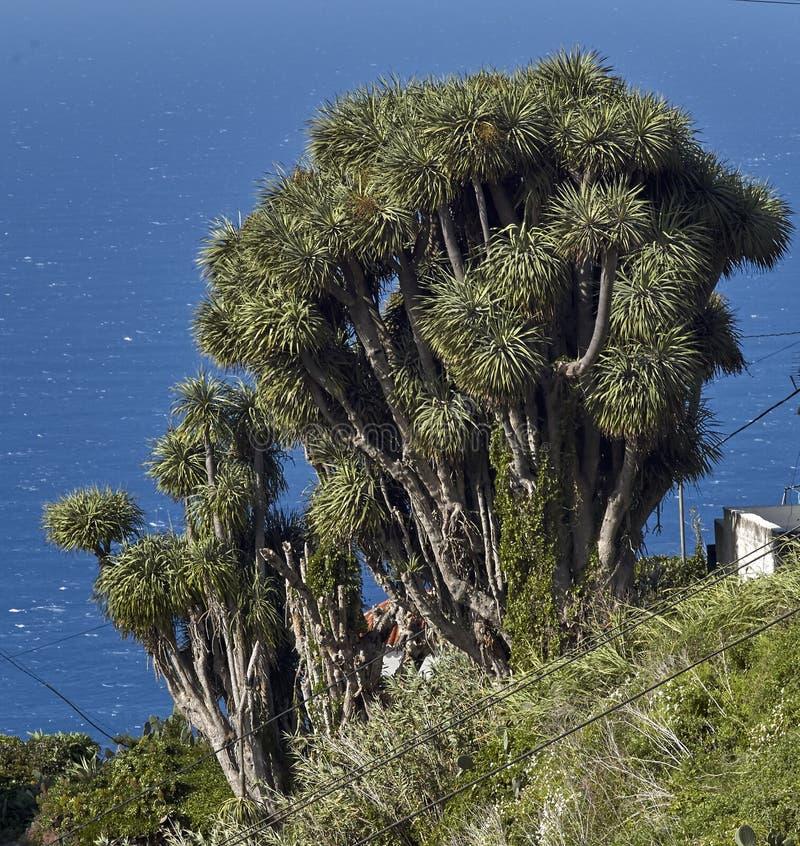 Träd för drake för kanariefågelöar royaltyfri fotografi