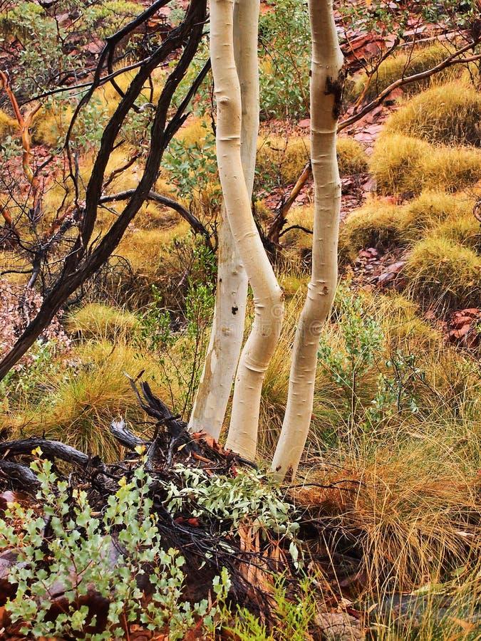 Träd för eukalyptus för spökegummi vita, konungar kanjon, Australien royaltyfri foto