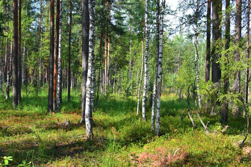 Träd för gräs för buskar för lingon för blåbär för blåbär för ny luft för natur för sommarskogsol royaltyfria bilder