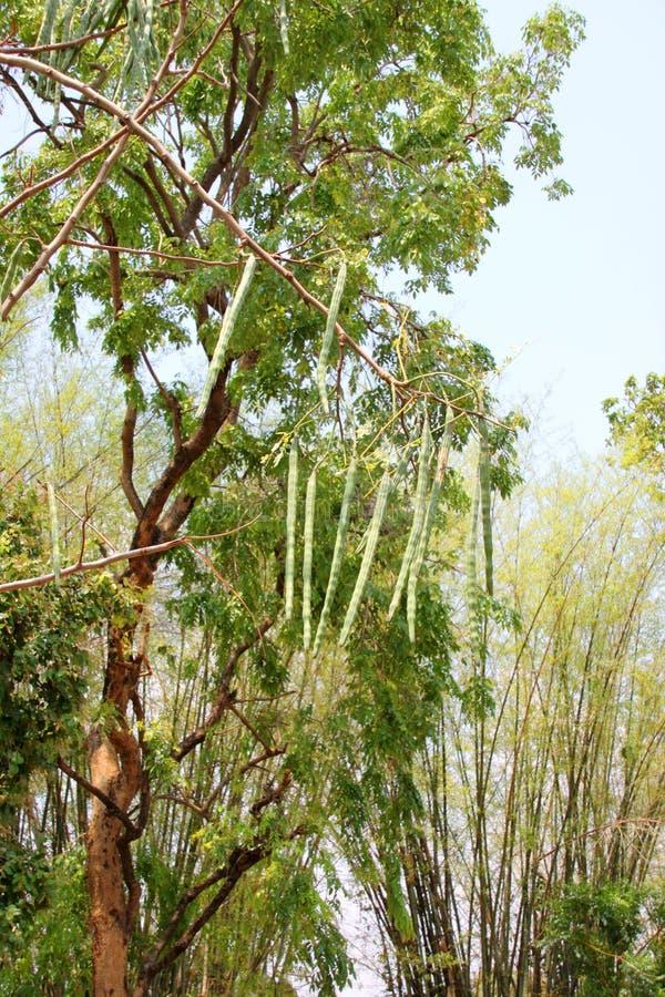 Träd för hästrädisa eller Moringa oleifera Lam royaltyfri bild