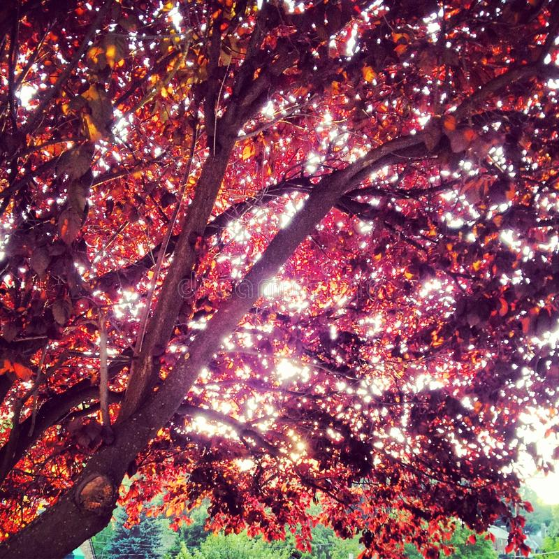 Träd för japansk lönn med strålar av ljus som strömmar till och med dess vibrerande röda sidor royaltyfria bilder