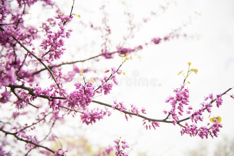 Träd för körsbärsröd blomning arkivbild