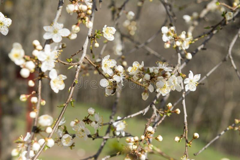 Träd för körsbärsröd blomning, blommor med vita kronblad, bi på blomman royaltyfria foton